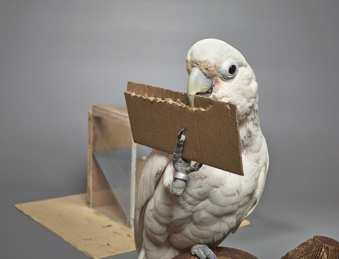 I pappagalli sanno creare strumenti per facilitarsi la vita!