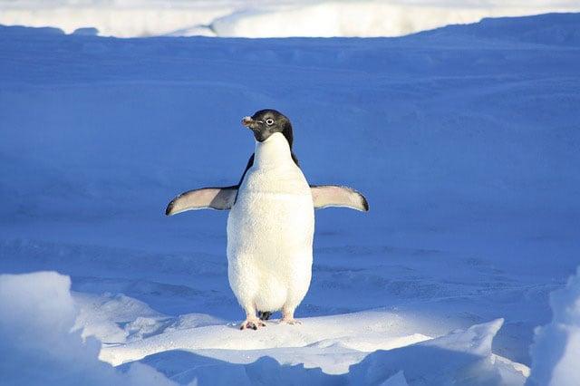 Curiosità animali: perché i pinguini non volano?