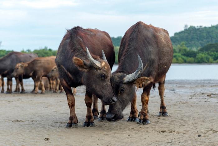 Bufalo indiano selvatico