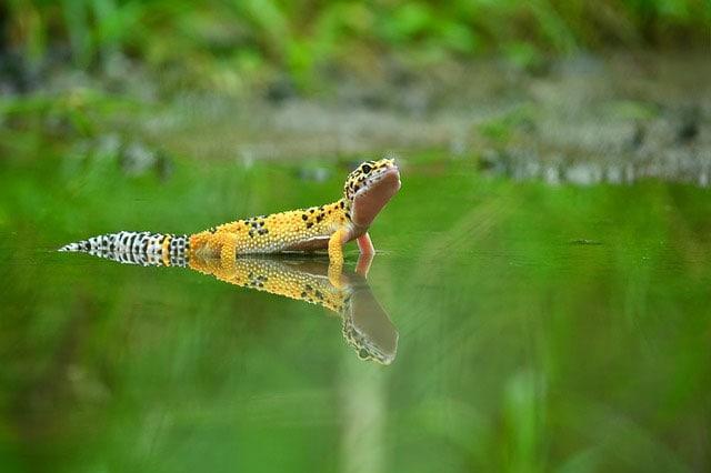 Come fanno i gechi a camminare sull'acqua?
