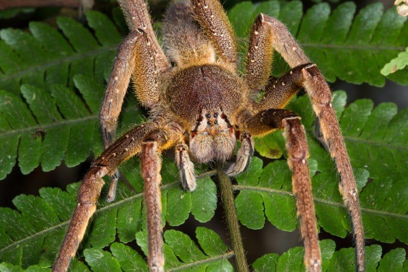I ragni più velenosi al mondo