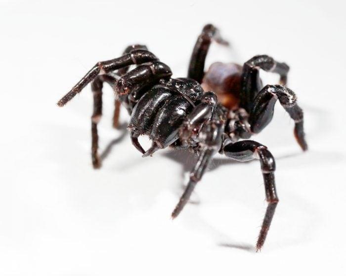 ragno dei cunicoli