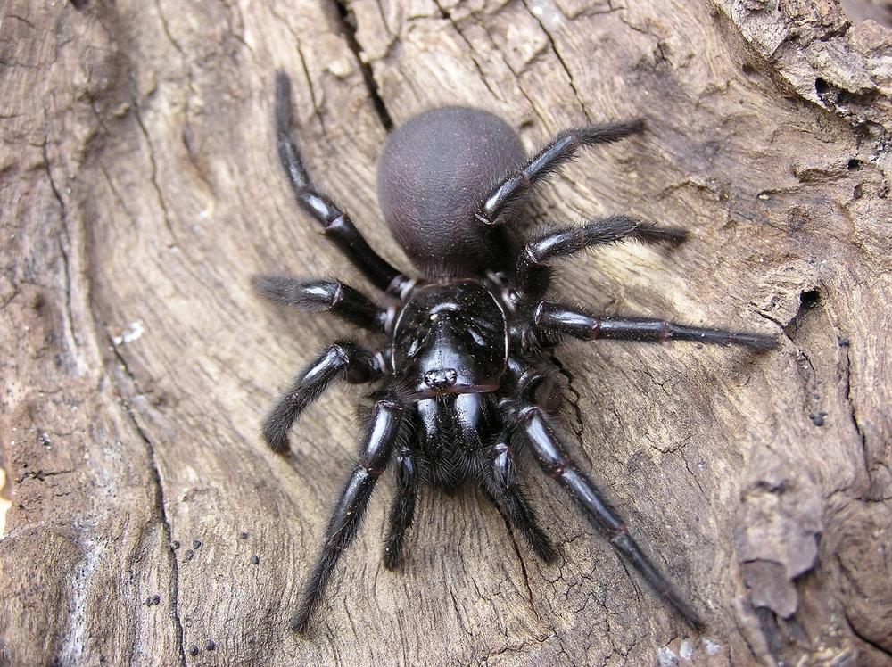 Un ragno dei cunicoli, o ragno della tela a imbuto di Sidney