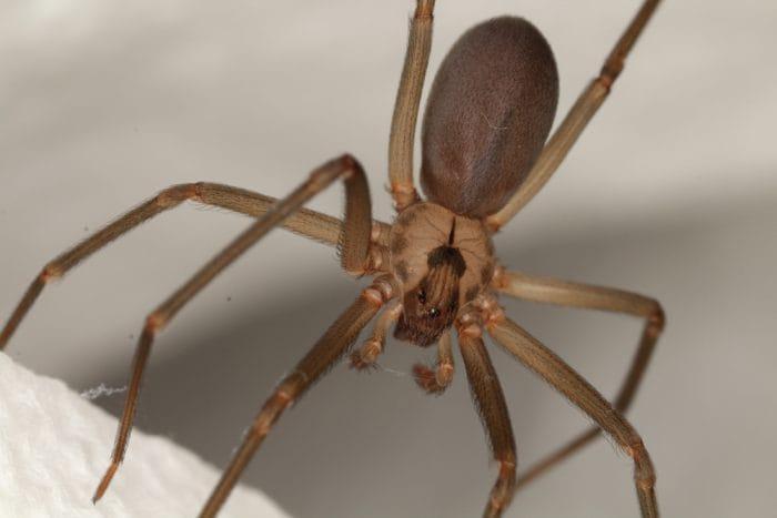 Il ragno eremita marrone (o ragno violino)