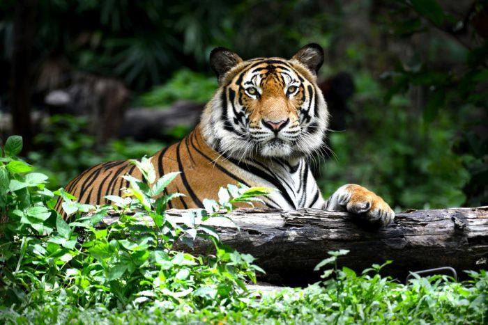 Animali influencer: un gorilla, un orso e una tigre diventano re dei social per il WWF