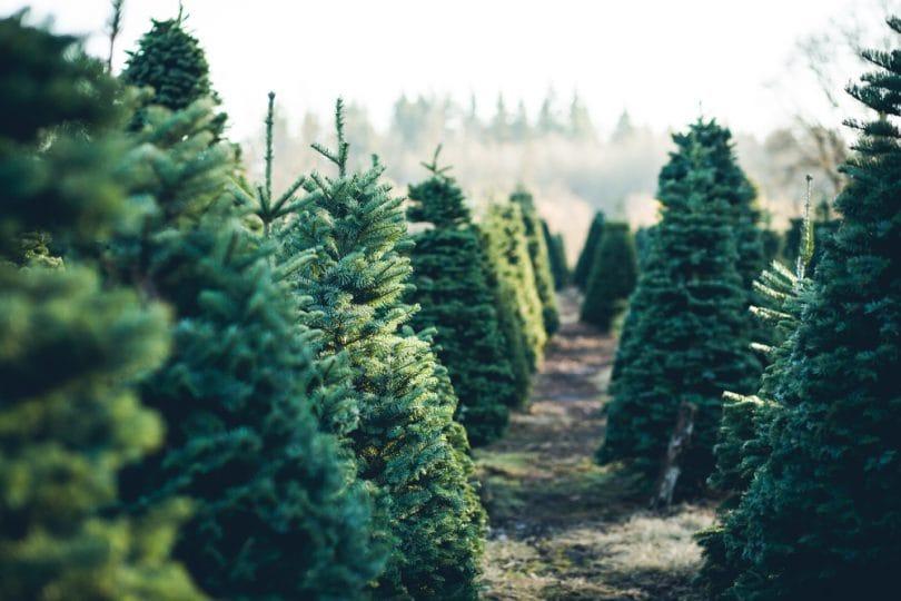 Da Spelacchio a Spezzacchio: torna l'albero di Natale a Roma!