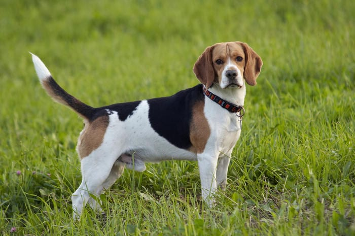 Razze canine: il Beagle. I consigli dell'esperto