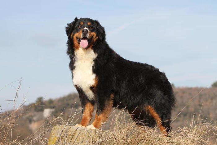 Razze canine: il Bovaro del Bernese. I consigli dell'esperta