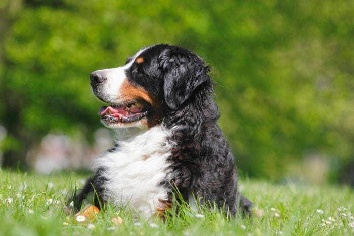 meet 6cf69 c430f Razze canine: il Bovaro del Bernese. I consigli dell'esperta