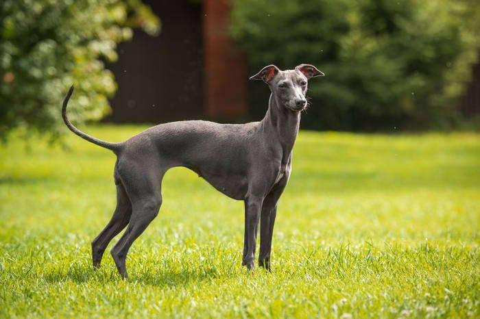 Razze canine: il Greyhound. I consigli dell'esperta
