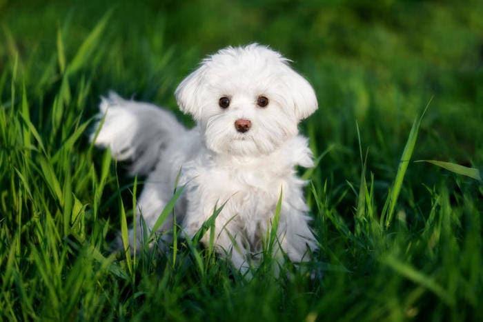 Un cane maltese