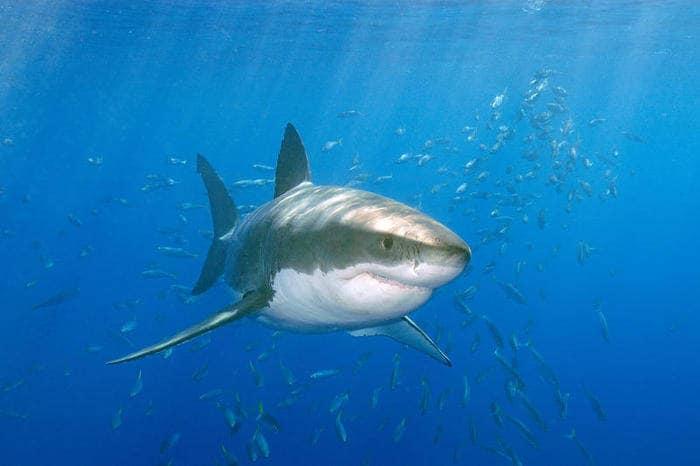 A tu per tu con Deep Blue, lo squalo bianco più grande del mondo