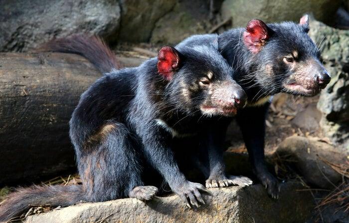 """Diavolo della Tasmania: un """"gattino"""" dal morso potente!"""