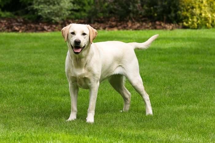 Razze canine: il Labrador Retriever. I consigli dell'esperta