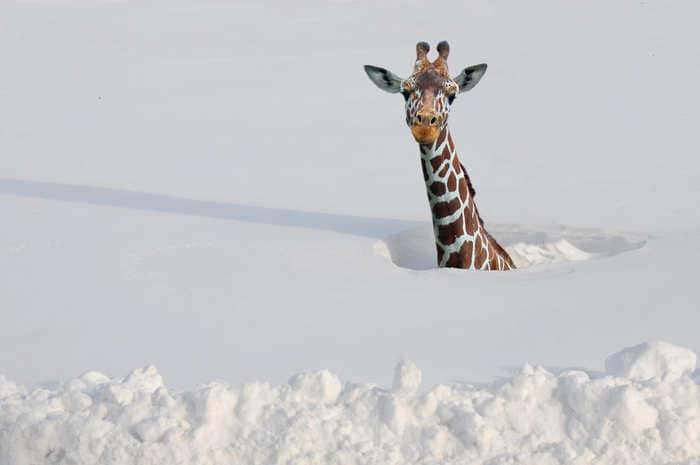 Animali nella neve: tante immagini bellissime e divertenti