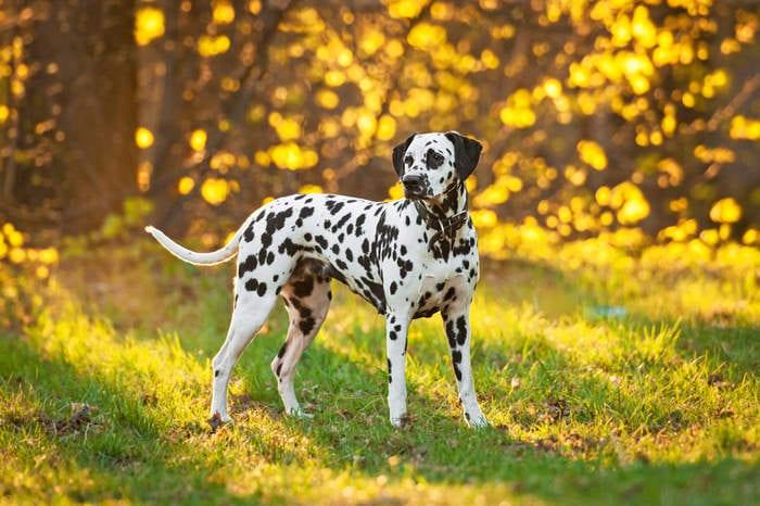 Razze canine: il dalmata. I consigli dell'esperta