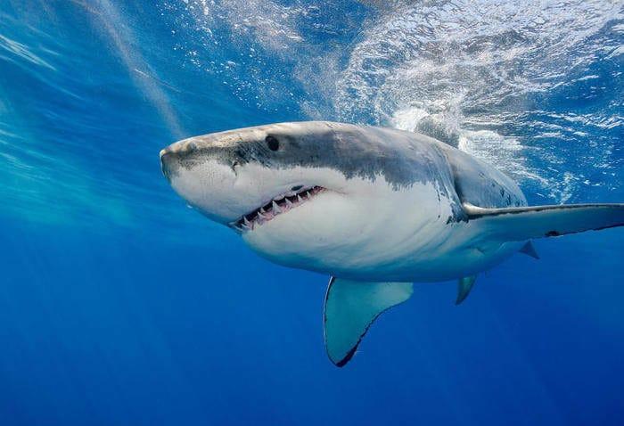 Mappato il DNA dello squalo