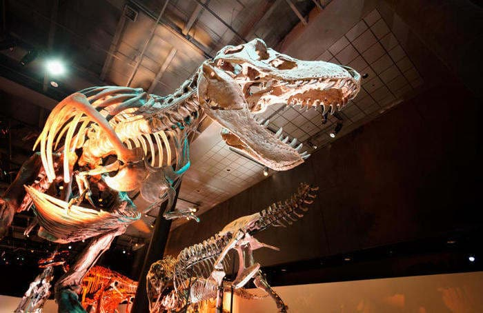 Scoperto l'antenato del T-Rex: era piccolo come un canguro