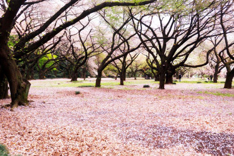 Fioritura dei ciliegi in Giappone: foto fantastiche