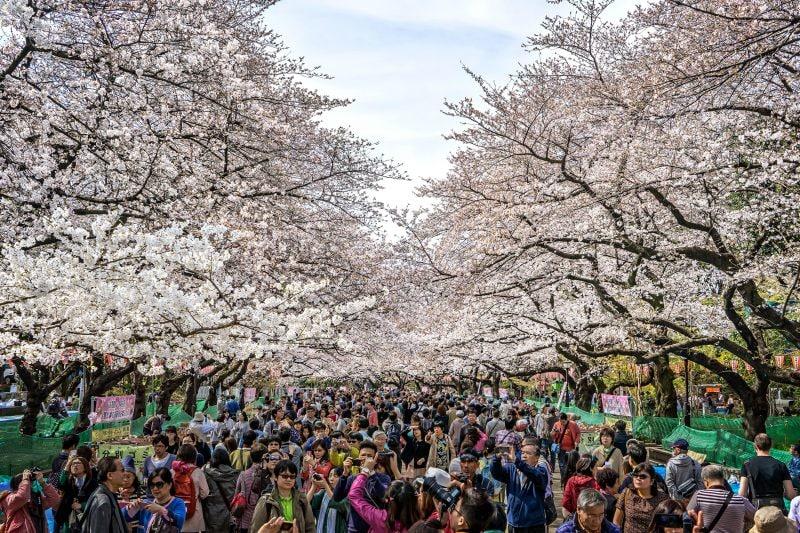 fioritura dei ciliegi