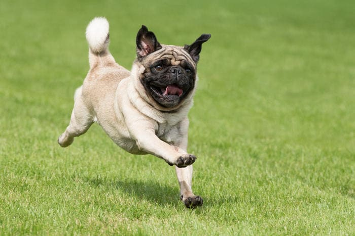 Razze canine: il carlino. I consigli dell'esperta