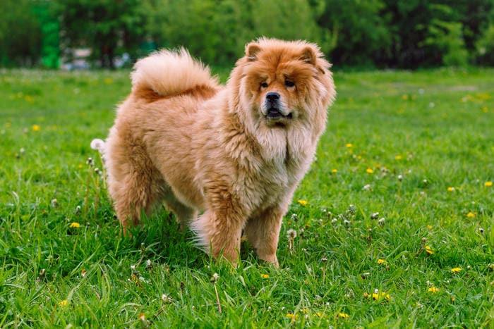 Razze canine: il Chow Chow. I consigli dell'esperta