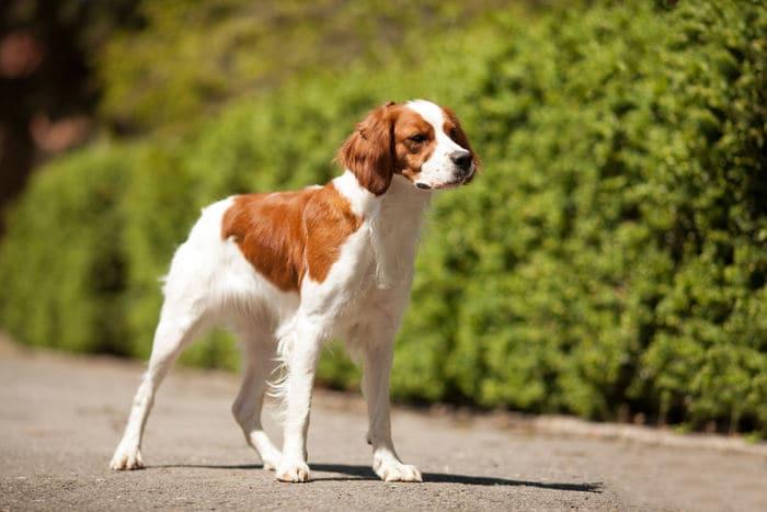 Razze canine: l'Epagneul Breton. I consigli dell'esperta