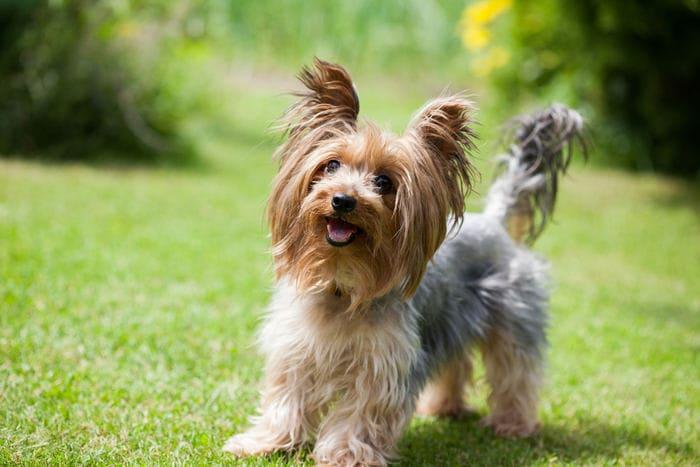 Razze canine: lo Yorkshire Terrier. I consigli dell'esperta