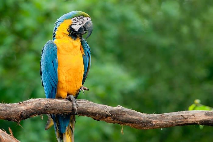 Ara gialloblu: il pappagallo variopinto del Sudamerica