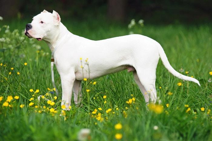 Razze canine: il Dogo Argentino. I consigli dell'esperta