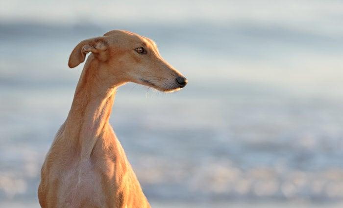 Razze canine: il Galgo. I consigli dell'esperta