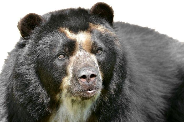 orso dagli occhiali