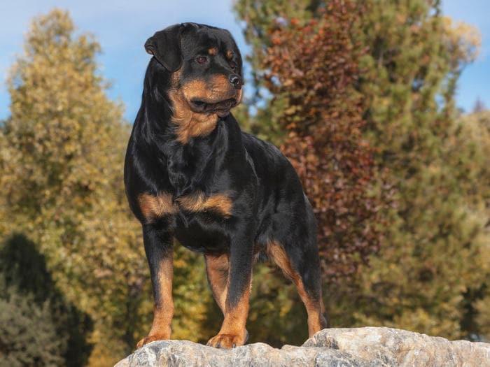 Razze canine: il Rottweiler. I consigli dell'esperta