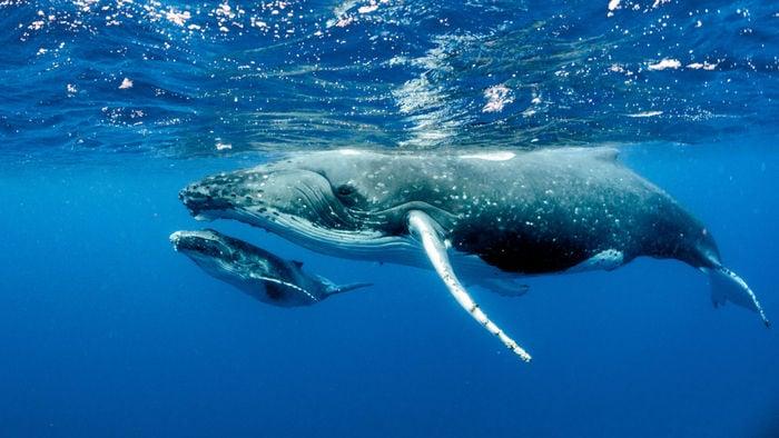 Le balene sono diventate giganti del mare circa 15 milioni di anni fa