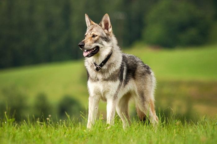 Razze canine: il Cane Lupo Cecoslovacco. I consigli dell'esperta