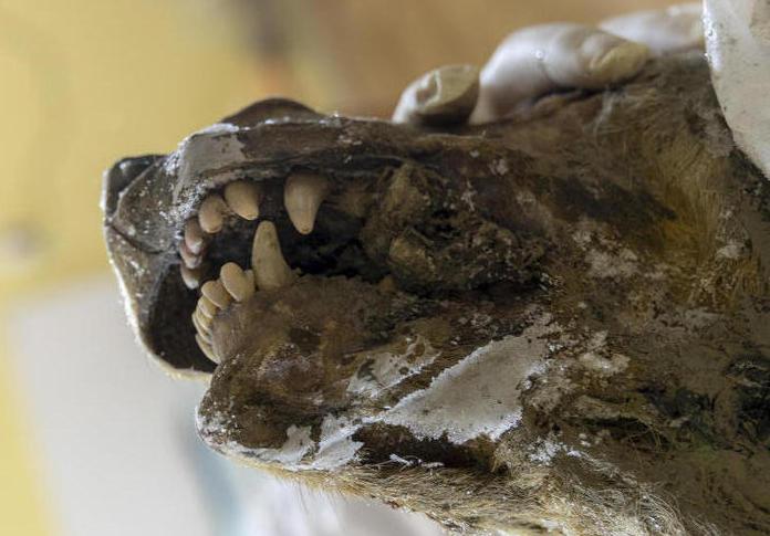Siberia: scoperta testa di lupo gigante del Pleistocene