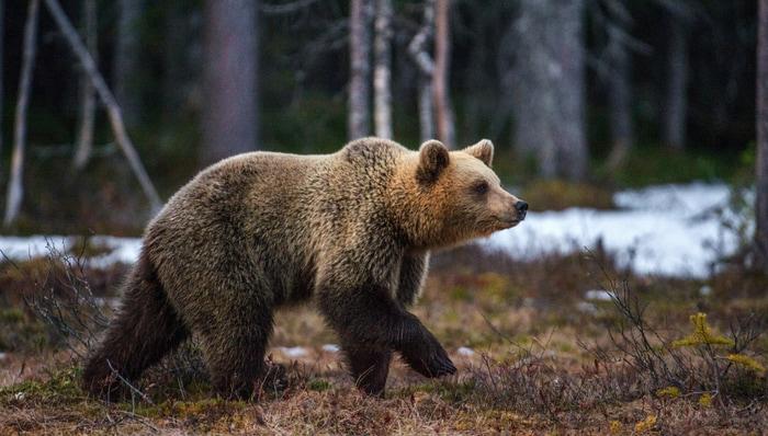 La fuga dell'orso M49
