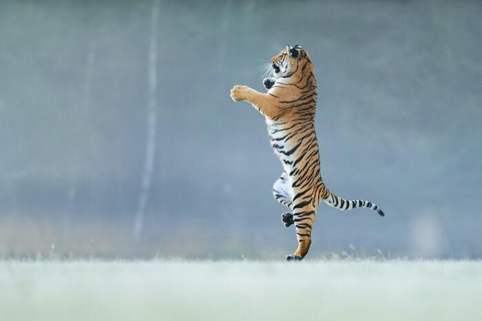 Giornata internazionale della tigre