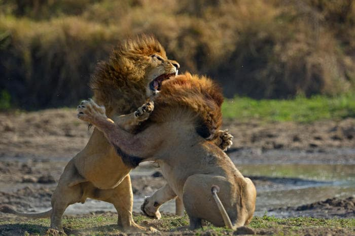 La dura vita del leone