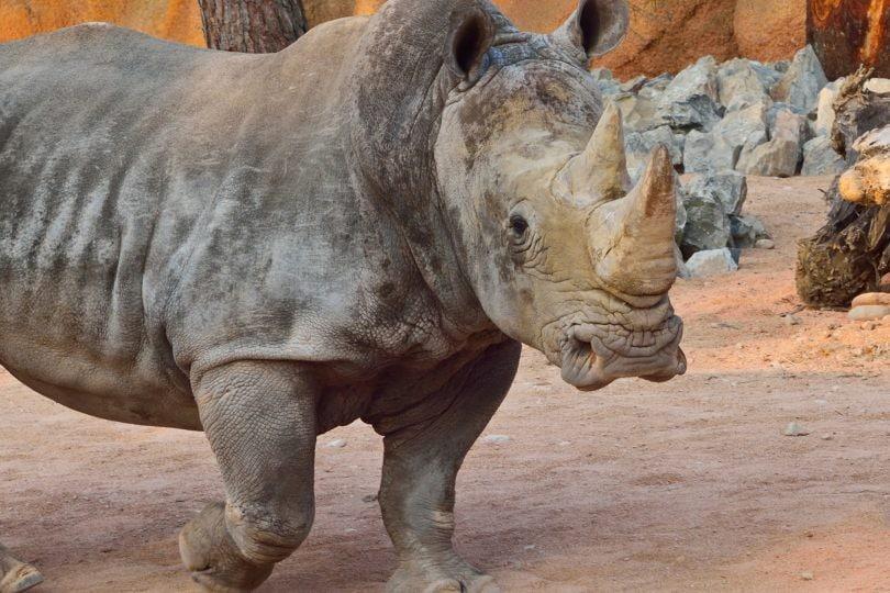 Il rinoceronte: una specie a rischio estinzione