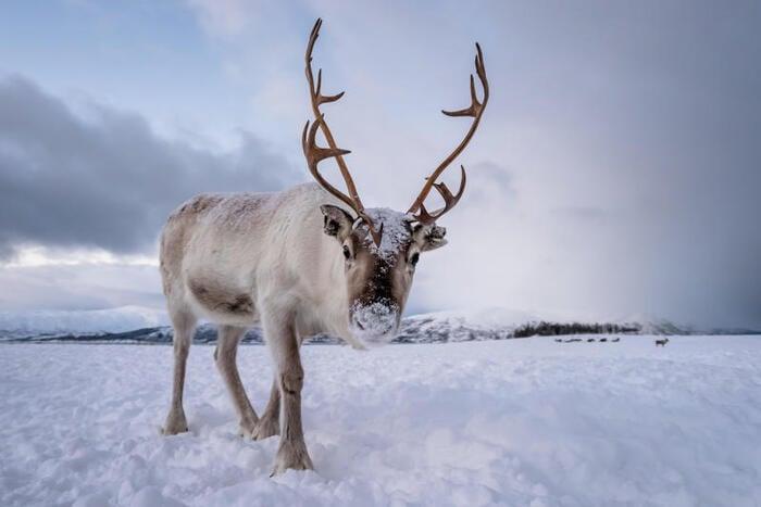 I superpoteri della renna