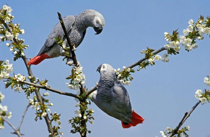 I pappagalli cinerini sono dei grandi altruisti