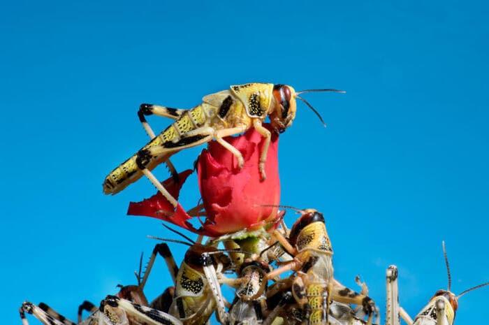 Le locuste e le loro invasioni