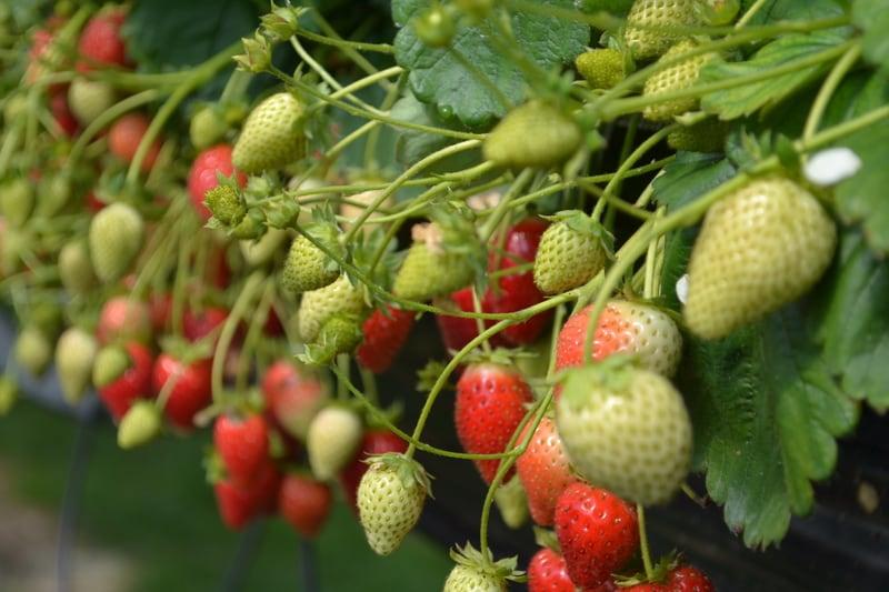 Fai crescere una piantina di fragole da una fragola