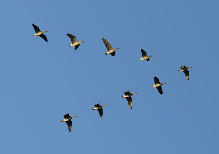 stormo di uccelli in formazione a V