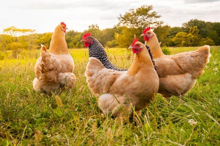 Come sarebbe il mondo se sparissero i polli?