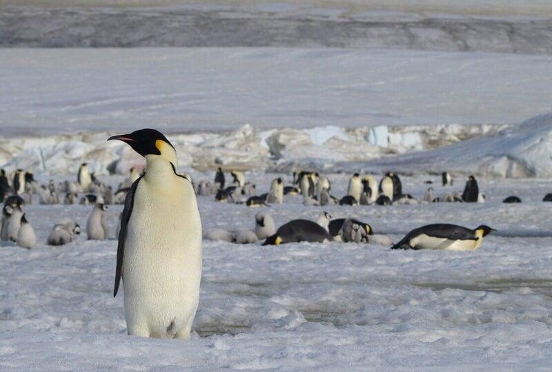 Buone notizie dallo spazio: i pinguini imperatore sono molti di più di quello che si pensasse