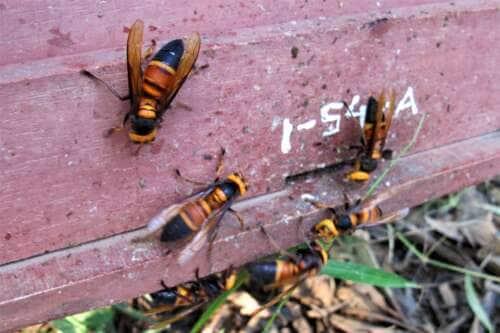 Lo sapevi che: le api sfidano i calabroni a colpi di cacca