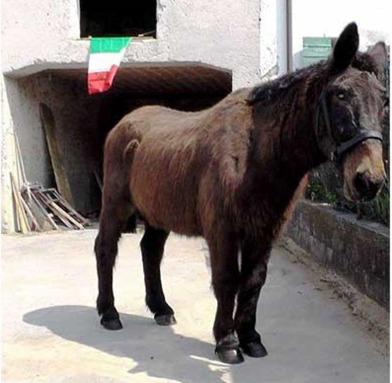 """Iroso, l'ultimo mulo """"soldato"""" degli Alpini"""