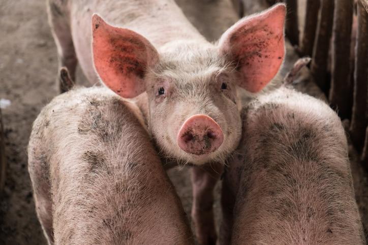 I maiali sono dei gamer, lo dicono gli scienziati
